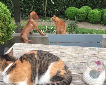 Gato Protege o Seu Amigo Cão Das Garras De Outro Gato 6