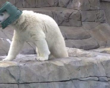 Pequeno Urso Polar Descobre Que Um Velho Balde Pode Ser Um Excelente Acessório De Moda 7