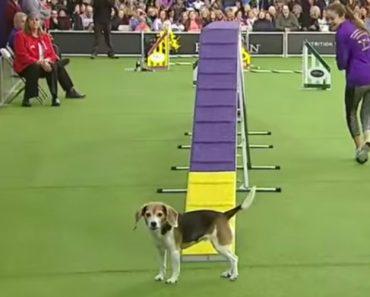Beagle Não Vence Prova Canina Mas Conquista Plateia Pela Sua Adorável Distração 1