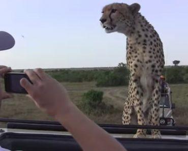 Turistas Vivem Experiência Intensa Ao Ficarem Frente-a-Frente Com Chita Durante Safari 1