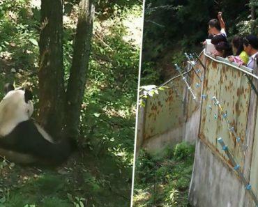 Turistas Atiram Pedras a Panda Para o Acordar Da Sesta 4
