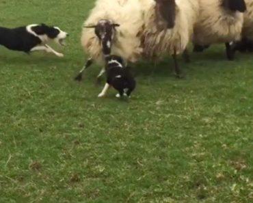 Cachorrinho De 7 Semanas Mostra o Seu Talento Para Cão Pastor 3