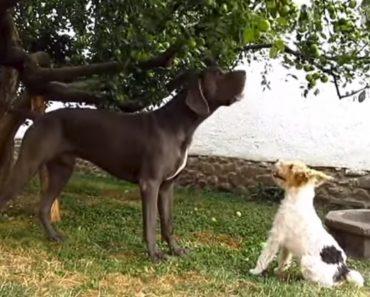 Cão Gigante Dá Preciosa Ajuda Ao Seu Pequeno Companheiro 3