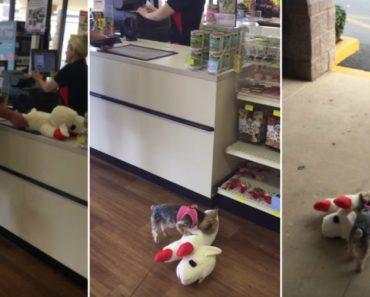 Cadelinha Esforça-se Por Transportar o Brinquedo Novo Com o Dobro Do Seu Tamanho 5