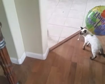 Gatinha Entusiasmada Com o Seu Balão De Aniversário Fica Desesperada Ao Deixá-lo Fugir 9