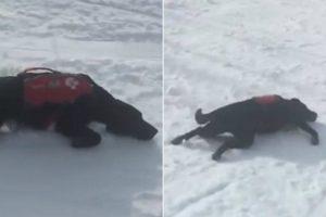 Energético Cão De Salvamento De Vítimas De Avalanches Diverte-se a Deslizar Na Neve 9