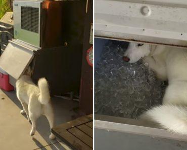 Cão Descobre Que a Máquina De Gelo é o Local Perfeito Para Estar Nos Dias De Mais Calor 8