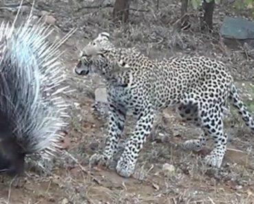 Porco-espinho Vence Disputa Contra Faminto Leopardo 5