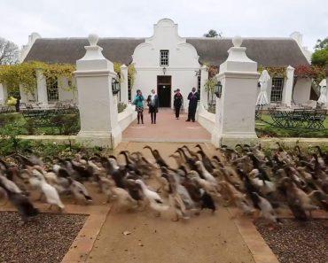 1000 Patos Marcham Alegremente Em Direção Ao Almoço 8
