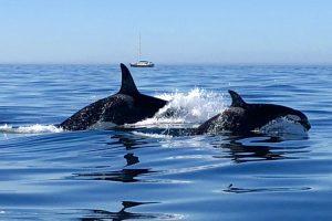 Família De Orcas Avistada Ao Largo Da Costa Do Algarve 10