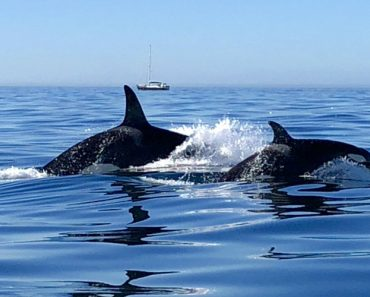 Família De Orcas Avistada Ao Largo Da Costa Do Algarve 4