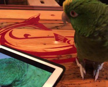 Papagaio Cantor Faz Dueto Com Uma Gravação De Si Próprio 9