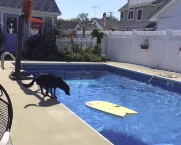 Inteligente Cão Descobre Como Ir Buscar a Bola Na Piscina Sem Ter De Se Molhar 9