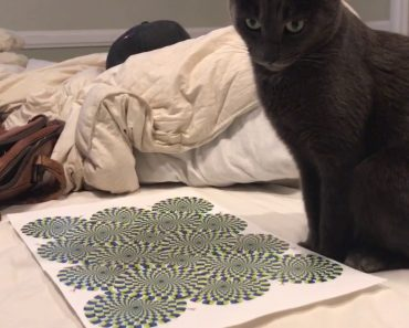 Vídeo Mostra Como Reage Um Gato à Ilusão De Ótica 9