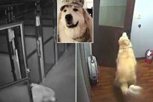 Inteligente Cão Descobre Como Sair De Hospital De Animais Depois De Abrir Várias Portas 7