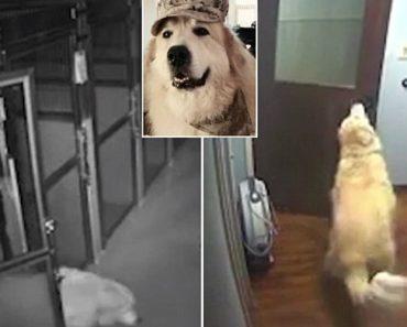 Inteligente Cão Descobre Como Sair De Hospital De Animais Depois De Abrir Várias Portas 4