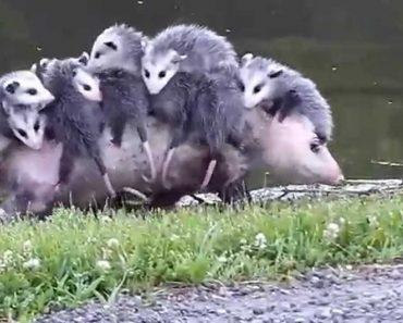 Não é Fácil Para Esta Pobre Mãe Levar Os Seus 10 Filhotes a Passear 2