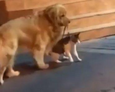 Golden Retriever Puxa O Seu Amigo Gato Para Evitar Que Ele Se Envolva Numa Briga Com Outro Gato 3