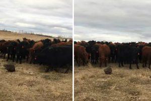 150 Curiosas Vacas Seguem o Seu Novo Líder: Um Castor 6