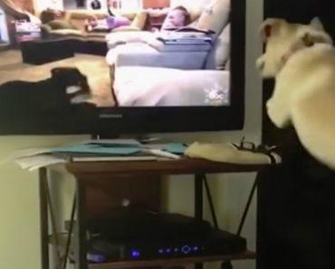 Cão Dá Saltos De Euforia Ao Ver Outros Cães Na Tv 12