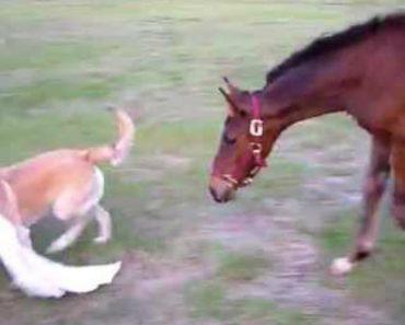 Provocador Cão Desafia Cavalo Para Brincar Com Ele 5
