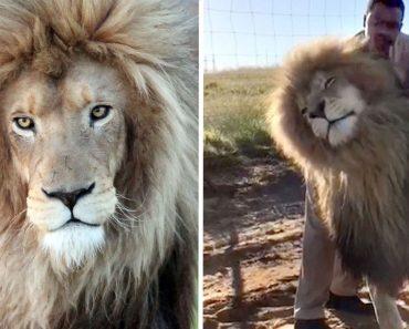 Enorme Leão Não Resiste a Uma Boa Massagem Na Cabeça 7