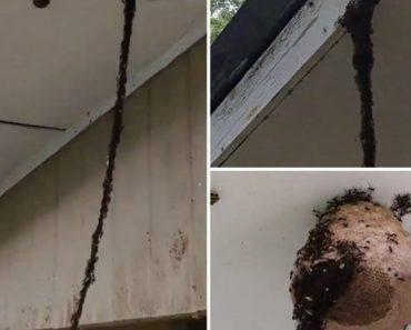 Milhões De Formigas Formam Ponte Para Saquear Ninho De Vespas 2
