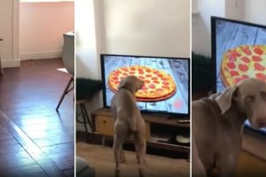 Português Encomenda Pizza Pela Televisão e o Seu Cão Fica Baralhado Com a Imagem No Ecrã 9