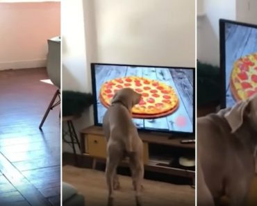 Português Encomenda Pizza Pela Televisão e o Seu Cão Fica Baralhado Com a Imagem No Ecrã 4