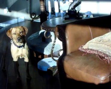 Adorável Cão Não Gosta Do Robô De Limpeza e Faz De Tudo Para o Manter Desligado 9