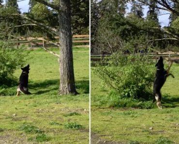 """Persistente Cão Quer Muito Aquele """"Pau"""" Que Teima Em Estar Preso Na Árvore 4"""