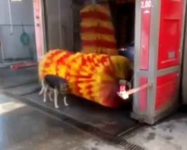 Cão Tira Proveito Dos Rolos De Lavagem De Carros Para Tomar Um Rápido Banho 5
