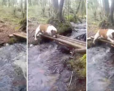 Atrapalhado Bulldog Tenta Encontrar a Melhor Estratégia Para Atravessar Riacho 4