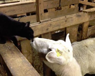 Curiosa Ovelha Tenta Fazer Amizade Com Gato Mas Depressa Se Farta Do Seu Mau Feitio 1