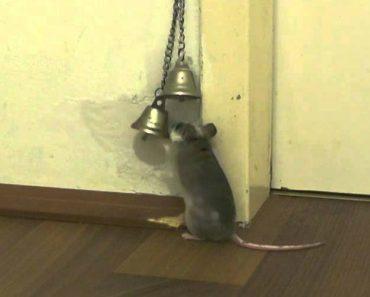 Inteligente Rato Toca à Campainha Para Que a Dona Lhe Abra a Porta 9