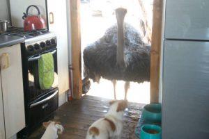 Avestruz Invade Cozinha De Uma Habitação Para Roubar a Comida Dos Cães 10