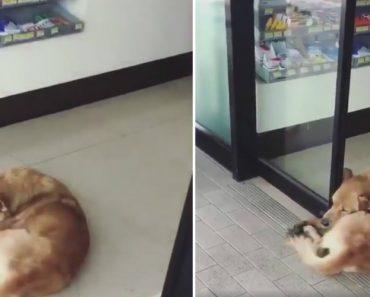 Cão Com Preguiça De Se Levantar Não Sai De Entre As Portas Automáticas 5