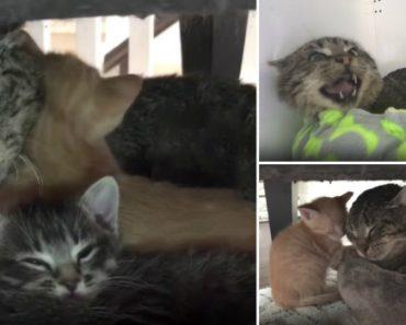 Agressivo Gato Muda Radicalmente De Comportamento Com a Chegada De Dois Gatinhos 7
