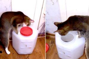 Inteligente Gato Descobre Como Se Abre a Tampa Do Recipiente Que Guarda a Sua Comida 10