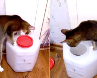 Inteligente Gato Descobre Como Se Abre a Tampa Do Recipiente Que Guarda a Sua Comida 3