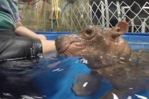 Cuidados De Tratadoras Com Um Hipopótamo Bebé Prematuro Torna-se Viral Na Internet 7