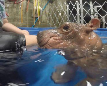 Cuidados De Tratadoras Com Um Hipopótamo Bebé Prematuro Torna-se Viral Na Internet 4