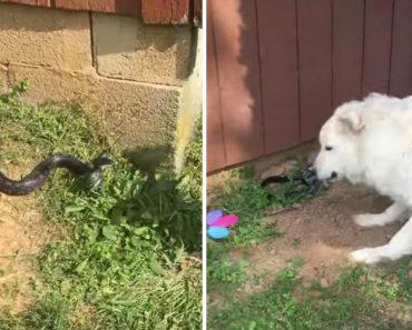 Cão Atira Acidentalmente Cobra Para Cima Da Sua Dona 5