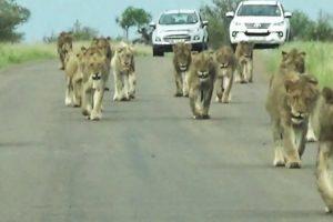 Grupo De Leões Apoderam-se De Estrada Com Imponente Desfile 10