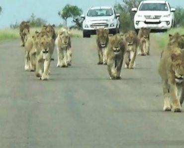 Grupo De Leões Apoderam-se De Estrada Com Imponente Desfile 3
