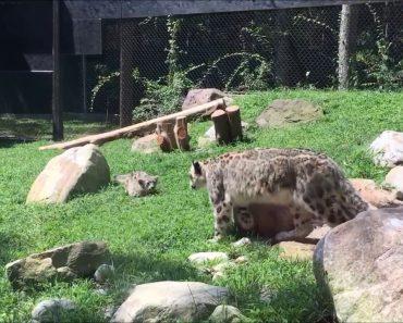 Bebé Leopardo Quase Mata a Mãe De Susto 4