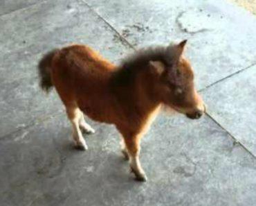 Mini Cavalo Bebé Faz Adorável Perseguição Ao Seu Dono 9