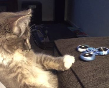 Gato Fica Fascinado Pelo Poder Anti-Stress Do Fidget Spinner 5