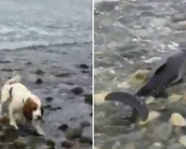 Cão Salva Golfinho Bebé Preso Na Praia 6