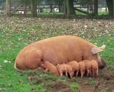 Porquinho é Inesperadamente Repreendido Pela Sua Mãe 1